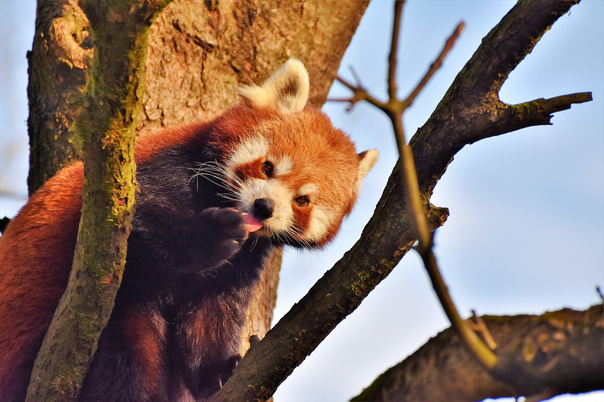 Red Panda at Macao Giant Panda Pavilion